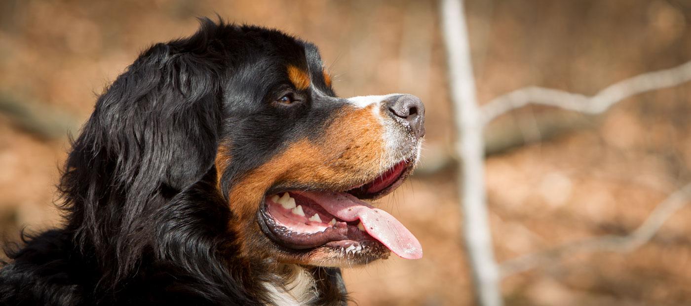 Berner Sennenhond Ebbe