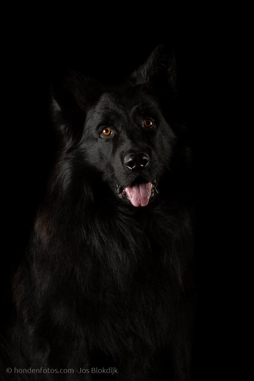 Oud Duitse herder op een zwarte achtergrond